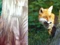 Gemaltes Portrait von einem Fuchs